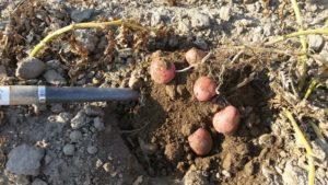Prison Farm Red Potatoes
