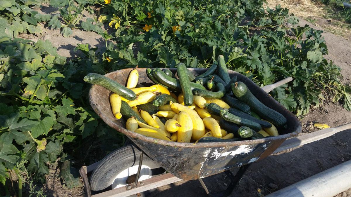 Harvest Report Squash