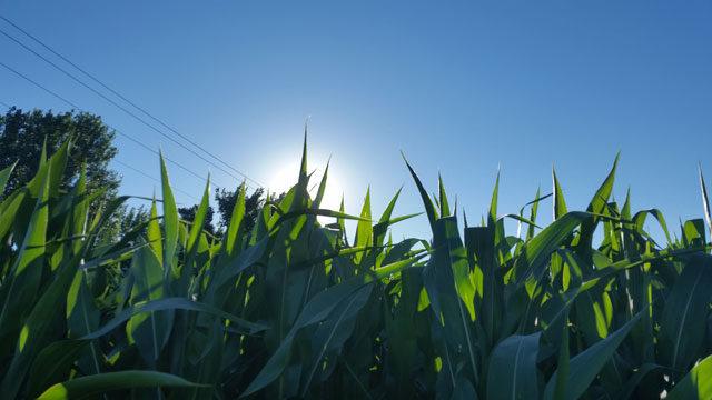 cornfield-sunrise(re-sized)